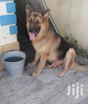 Young Male Purebred German Shepherd Dog   Dogs & Puppies for sale in Mombasa, Bamburi