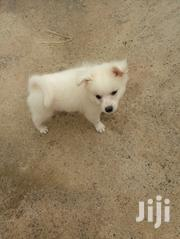 Baby Male Mixed Breed Japanese Spitz | Dogs & Puppies for sale in Nairobi, Makongeni