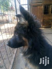 Young Male Purebred German Shepherd Dog | Dogs & Puppies for sale in Nairobi, Kahawa West