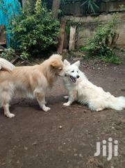 Young Female Purebred Finnish Spitz | Dogs & Puppies for sale in Nairobi, Nairobi West