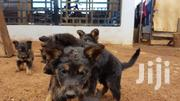 Baby Male Mixed Breed German Shepherd Dog | Dogs & Puppies for sale in Murang'a, Kimorori/Wempa
