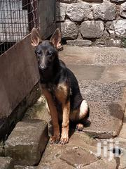 German Shepherd Puppies 5 Months Old | Dogs & Puppies for sale in Nairobi, Komarock