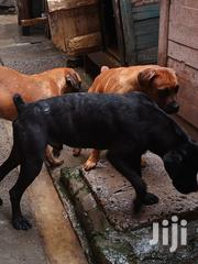 Boerboel Puppies | Dogs & Puppies for sale in Nairobi, Komarock