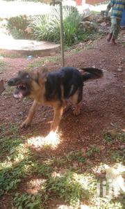 Young Male Purebred German Shepherd Dog | Dogs & Puppies for sale in Migori, Suna Central