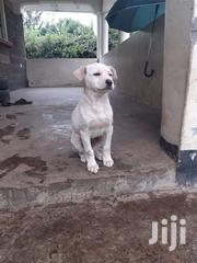 Young Male Purebred Labrador Retriever | Dogs & Puppies for sale in Nakuru, Nakuru East