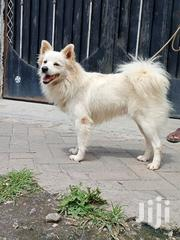 Adult Male Purebred Japanese Spitz | Dogs & Puppies for sale in Nakuru, Bahati