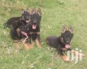 Young Male Purebred German Shepherd Dog | Dogs & Puppies for sale in Nairobi, Westlands