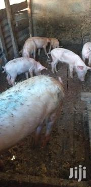 Pigs Medium Sized | Livestock & Poultry for sale in Kiambu, Thika