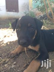 Baby Male Mixed Breed American Pit Bull Terrier | Dogs & Puppies for sale in Mombasa, Mji Wa Kale/Makadara