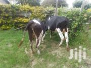 Cows For Sale | Livestock & Poultry for sale in Kajiado, Ngong