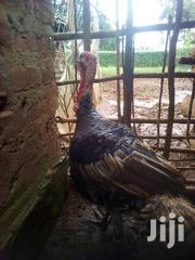 Male Turkey | Livestock & Poultry for sale in Siaya, North Gem