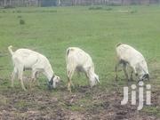 Goats And Sheep For Xmas | Livestock & Poultry for sale in Nairobi, Ngando