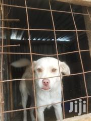 Baby Female Mixed Breed Maltese | Dogs & Puppies for sale in Kajiado, Kitengela