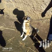 Adult Female Mixed Breed German Shepherd Dog | Dogs & Puppies for sale in Nakuru, Bahati