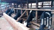 Cows For Sale | Livestock & Poultry for sale in Kiambu, Mang'U