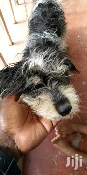 Young Male Purebred Miniature Schnauzer | Dogs & Puppies for sale in Nairobi, Nairobi Central