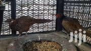 Melanistic Pheasants For Sale | Other Animals for sale in Mombasa, Bamburi