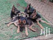 German Shepherd Dog | Dogs & Puppies for sale in Kiambu, Juja