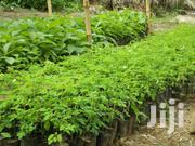 Moringa Seedlings | Home Accessories for sale in Kitui, Central Mwingi