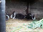 Male Rabbits 2-3 Months In Kabarak Area | Livestock & Poultry for sale in Nakuru, London