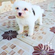 Young Male Purebred Maltese | Dogs & Puppies for sale in Nairobi, Nairobi Central