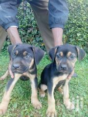 Young Male Purebred Rottweiler | Dogs & Puppies for sale in Nairobi, Nairobi Central