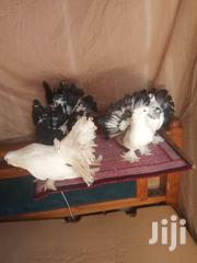 Paired Indian Fantails{2} | Birds for sale in Nairobi, Umoja II