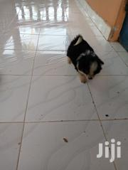 Baby Female Purebred Chihuahua | Dogs & Puppies for sale in Kisumu, Central Kisumu