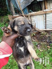 Baby Male Mixed Breed Labrador Retriever | Dogs & Puppies for sale in Nairobi, Nairobi West