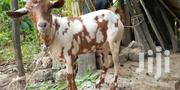 Goat For Sale | Livestock & Poultry for sale in Mombasa, Junda