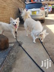 Baby Female Purebred Japanese Spitz | Dogs & Puppies for sale in Kajiado, Ongata Rongai