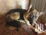 Young Male Purebred German Shepherd Dog | Dogs & Puppies for sale in Nairobi, Nairobi Central