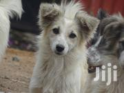 Young Female Mixed Breed Finnish Spitz | Dogs & Puppies for sale in Machakos, Syokimau/Mulolongo