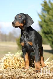 Young Male Purebred Doberman Pinscher | Dogs & Puppies for sale in Nairobi, Nairobi Central