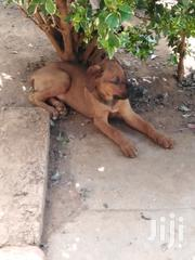 Young Female Purebred Boerboel   Dogs & Puppies for sale in Uasin Gishu, Kapsaos (Turbo)