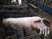 Pigs For Sale | Livestock & Poultry for sale in Kiambu, Karuri