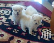 Baby Male Purebred Chihuahua | Dogs & Puppies for sale in Nairobi, Ruai