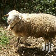 Sheep 50kgs | Livestock & Poultry for sale in Kiambu, Kabete