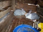 Selling Rabbits | Other Animals for sale in Kiambu, Thika