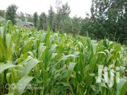 Maize Fo Silage | Feeds, Supplements & Seeds for sale in Nyeri, Rware