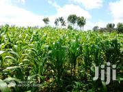 Silage Maize | Feeds, Supplements & Seeds for sale in Nyeri, Rware