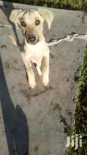Young Male Purebred Labrador Retriever   Dogs & Puppies for sale in Nakuru, Lanet/Umoja