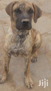 Young Female Purebred Boerboel | Dogs & Puppies for sale in Machakos, Machakos Central