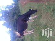 Cow Daily Affordable | Livestock & Poultry for sale in Kiambu, Juja