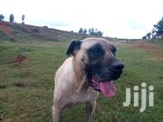 Adult Female Mixed Breed Boerboel   Dogs & Puppies for sale in Uasin Gishu, Kapsaos (Turbo)