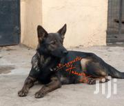 Adult Female Purebred German Shepherd Dog | Dogs & Puppies for sale in Nakuru, Bahati