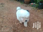 Young Male Purebred Havanese | Dogs & Puppies for sale in Nairobi, Kileleshwa