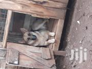 Young Female Purebred German Shepherd Dog | Dogs & Puppies for sale in Kiambu, Kabete