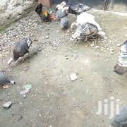 Ornamental Birds | Livestock & Poultry for sale in Nairobi, Ruai