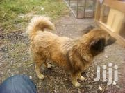 Adult Male Purebred Fox Terrier | Dogs & Puppies for sale in Baringo, Ravine